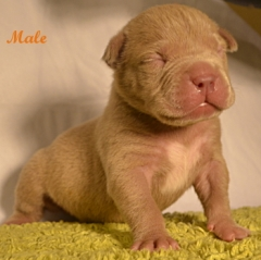 XL Pitbull Puppies for sale | Bully Pitbull Puppies | Pitbull